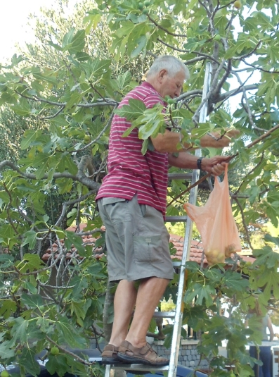 Fig picking in Tucepi, Croatia. Photo by Barbara Howe.