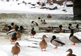 Ducks and Drakes at Lynde Shores Conservation Area. Photo by Barbara Howe