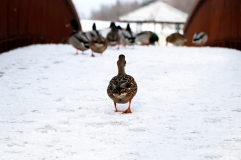 Ducks at Lynde Shores. Photo by Barbara Howe