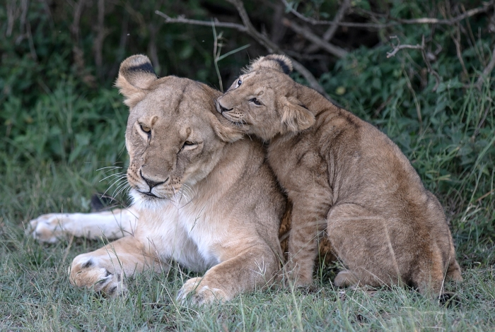 Lioness and cub chewing ear